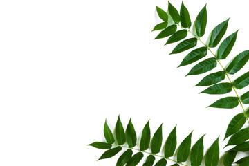 Green leaf branches on white background. flat lay, top view