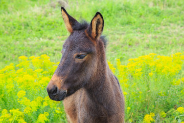 Little horse colt  with the sad eyes strolls in a green field