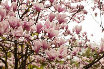 Flowering Magnolia liliflora