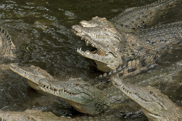 Hungry group of crocodiles in the water.