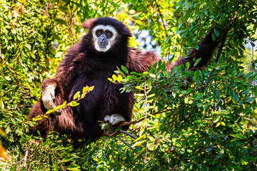 Siamang Monkey in a Tree