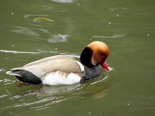 Nette rousse, canard plongeur, série, St Jame's Park, Londres