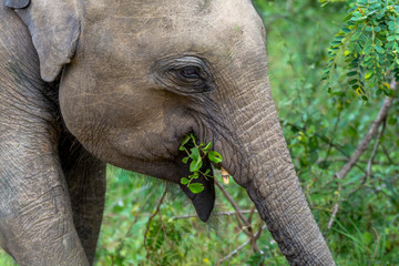 Close Up View of Young Elephant Head Eating Leaves