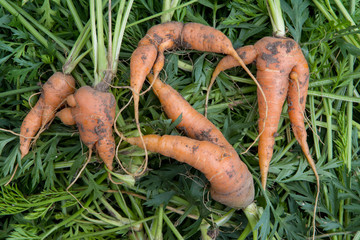 ugly organic fresh carrots - bent, twisted, crooked
