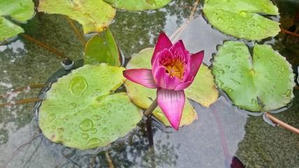 Moist pink lotus