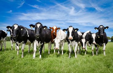 Fototapete - Eine Herde Holstein-Friesian Rinder auf einer Sommerweide, Formation