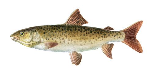 Freshwater fish of the Far East - Brachymystax lenok, Isolated on a white background, drawings watercolor