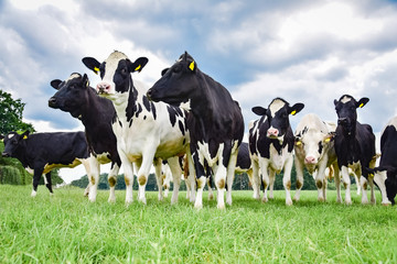 Fototapete - Herde  Rinder auf einer Weide, dunkle Wolken am Milchmarkt