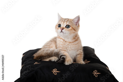 Funny kitten British Shorthair on a black pillow  Color: Black
