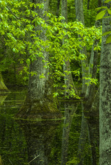 Cypress Swamp, Natchez Trace, MS