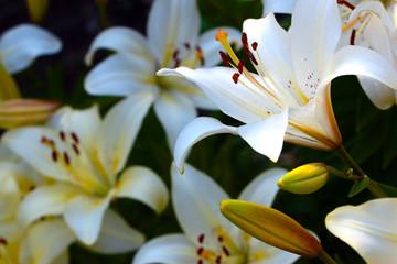 Beautiful fresh joyful flowers and lily buds