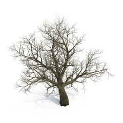 Winter old maple tree isolated on white. 3D illustration