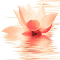Foto auf Gartenposter Lotosblume lotus orange