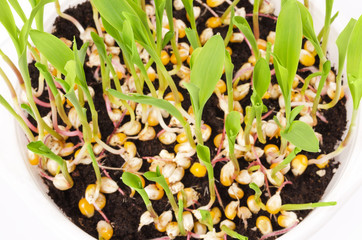 Young popcorn plants in white plastic tray from above. Seedlings from kernels in potting compost. Sprouts and leaves of maize, Zea mays, a variety of corn. Sweet vegetable. Microgreens. Macro photo.