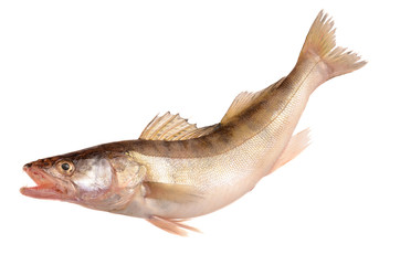 pike perch on a white background