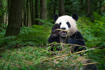 Panda bear eating bamboo and wave