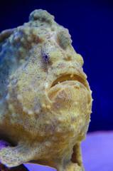 Shaggy frogfish, Antennarius hispidus