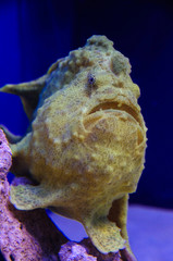 Shaggy frogfish, Antennarius hispidus