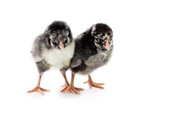 Silver Laced Wyandotte Chicks