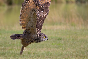 European eagle owl bird of prey taking off. Flying close to ground.