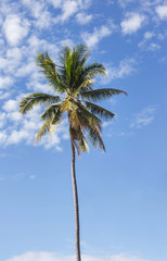 coconut palm tree on the beach with blue sky background