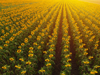 Wall Mural - Aerial view of sunflower field in summer sunset
