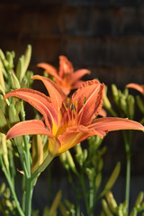 Gorgeous Orange Daylily Blooming in the Spring