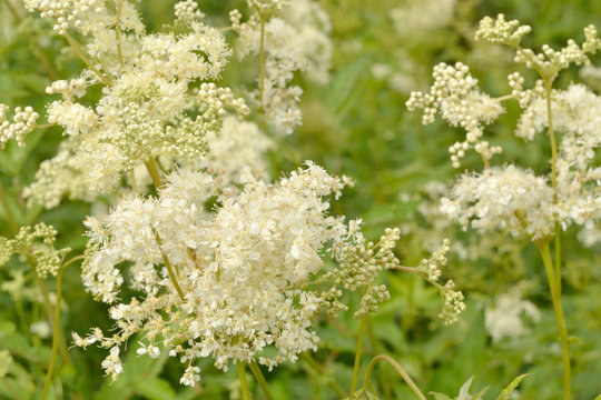 Meadowsweet blooms. Close-up. White lush flowers on high stems among green grass.