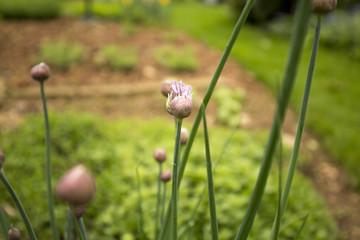 garlic flower buds in garden