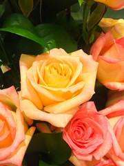 rose flower blooming.
