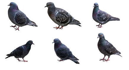 Pigeons in different poses isolated on white background.