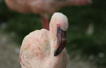 The lesser flamingo (Phoeniconaias minor)