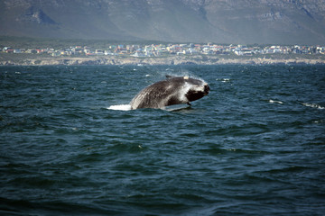 Southern smooth whale jumping out of the water