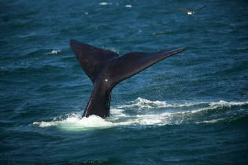 Tail over the water of a diving southern smooth whale