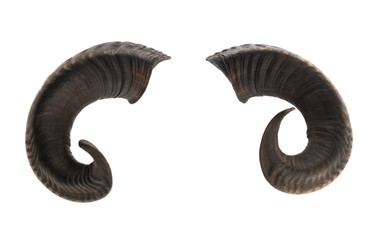 Pair of ram horns
