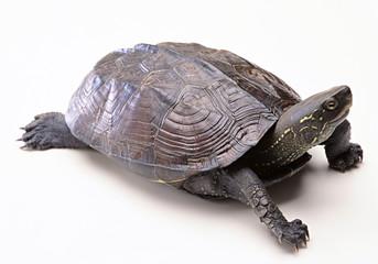 tortoise on white background