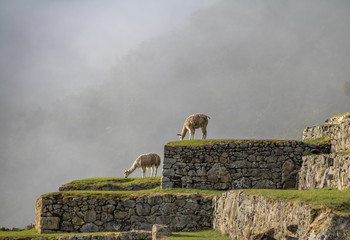Poster South America Country Llamas at Machu Picchu Inca Ruins - Sacred Valley, Peru