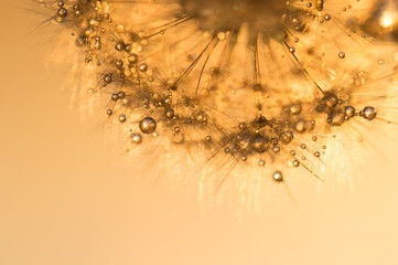 Dandelion with golden drops at sunset. Beautiful sparkling image.