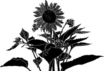 Sunflower silhouette. Bold black and white clip art drawing with no background. Botanical, floral, nature theme design element.
