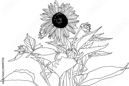 Sunflower Botanical Illustration Sketchbook Style Line Drawing In Black And White No Background