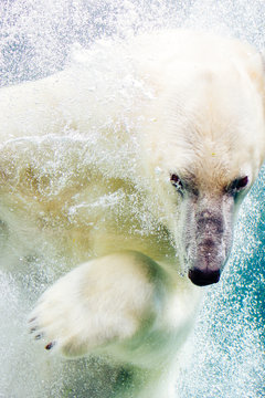 Close up of polar bear swimming in water
