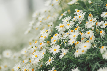 Close-Up Of Daises Blooming Outdoors
