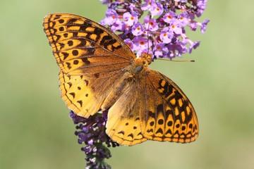 Fotoväggar - Great Spangled Fritillary Butterfly