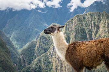 Llamas at Machu Picchu Inca Ruins - Sacred Valley, Peru