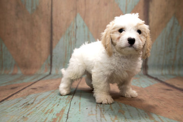Cavachon on pattern background