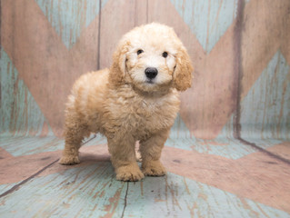 Miniature Poodle on a pattern bakground