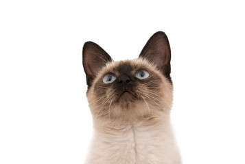 Siamese cat isolated