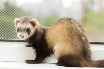 Ferret for 5 months sits on a window sill near a window equipped with a metal mesh