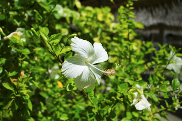 Tropical flower white hibiscus on green bush. Flower with white petals.