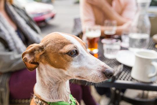 Italian Greyhound Dog at Restaurant